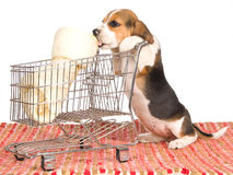 Beagle puppy with shopping trolley Stock Photos