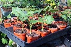 Bean plants in pots. Royalty Free Stock Photos