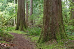 Beautiful forest of Pacific Northwest Royalty Free Stock Images