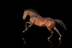 Beautiful powerful stallion galloping. Horse on a black background Stock Image