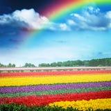 Beautiful rainbow over multicolor tulip field, Holland Stock Image