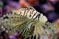 Beautiful red lionfish Pterois volitans Royalty Free Stock Photography