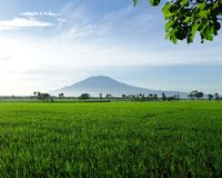 Beautiful rice field Royalty Free Stock Photo
