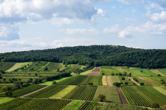 Beautiful rows of viticulture Stock Images