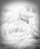 Beautiful white roses with vignette as wedding background. Soft Stock Images