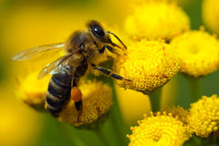 A bee on a flower Stock Photos