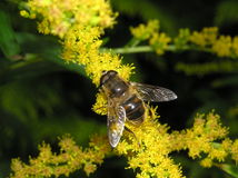 Bee on goldenrod Royalty Free Stock Image