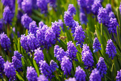 Bee on muscari flowers Stock Images