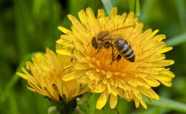 Bee on yellow flower Stock Images