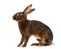 Belgian Hare in front of a white background Stock Photos