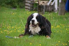 Bernese Mountaindog on a lawn full of dandelions Stock Image