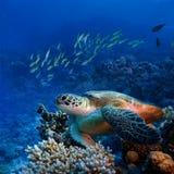 Big sea turle underwater Royalty Free Stock Image