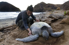 Biologist working with Pacific Green sea turtle Royalty Free Stock Photo