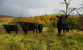 Black Cows In Field Royalty Free Stock Photo
