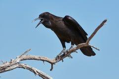 Black crow Royalty Free Stock Image