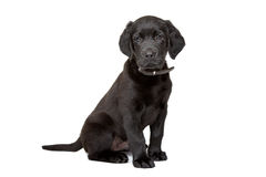 Black Labrador puppy Royalty Free Stock Images