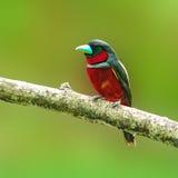 Black-and-Red broadbill bird Stock Photography