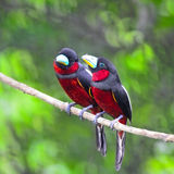 Black-and-Red Broadbill Stock Image