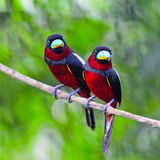 Black-and-Red Broadbill Stock Photography