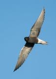 Black Tern Stock Photo