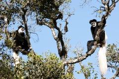 Black-and-white colobus monekys Stock Photos