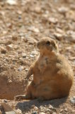 Blacktailed prairie dog Royalty Free Stock Photography