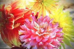 Blom- bakgrund av höstdahlior Royaltyfri Foto