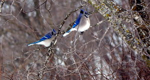 Blue jay mates in a tree Royalty Free Stock Photos