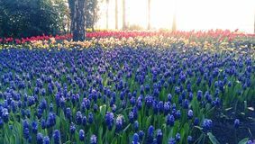 Blue muscari flowers and tulips Stock Photography