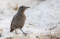 Blue Rock Thrush on Rock Royalty Free Stock Image