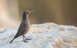 Blue Rock Thrush on Rock Stock Photography