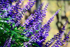 Blue Sage Flowers Royalty Free Stock Photo