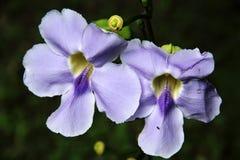 Blue Trumpet Vine Royalty Free Stock Photo