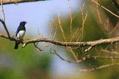 Blue-and-White Flycatcher Royalty Free Stock Image