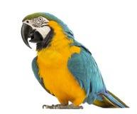 Blue-and-yellow Macaw, Ara ararauna, 30 years old Royalty Free Stock Photo