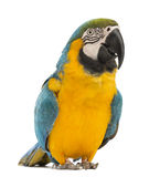 Blue-and-yellow Macaw, Ara ararauna, 30 years old Stock Photography