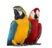 Blue-and-yellow Macaw, Ara ararauna, 30 years old, and Green-winged Macaw, Ara chloropterus, 1 year old Stock Image