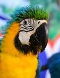Blue-and-yellow Macaw (Ara ararauna) Stock Image