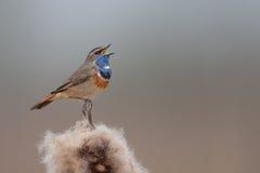 Bluethroat singing Stock Image