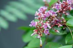 Blume der Sternfrucht Lizenzfreie Stockfotografie