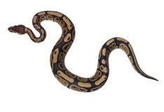 Boa Snake Royalty Free Stock Photography