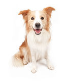 Border Collie Dog Sitting Down Royalty Free Stock Photography