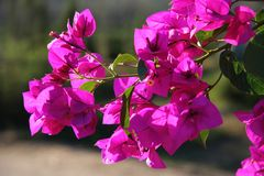 Bougainvillea Flowers Stock Images