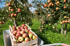 Box with apples Stock Photography