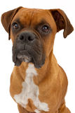 Boxer Dog Closeup Royalty Free Stock Image