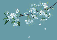 Branch of blossom cherry Royalty Free Stock Photography