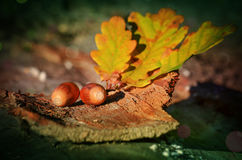 Branch with leaves and acorns Royalty Free Stock Photography