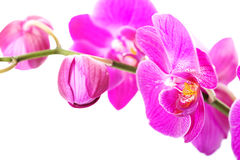 Branch of orchid flower Stock Images