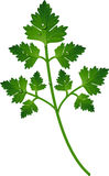 Branch of parsley Stock Photography