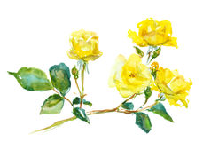 Branch of yellow rose Royalty Free Stock Photography